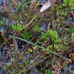 Salicornia fruticosa